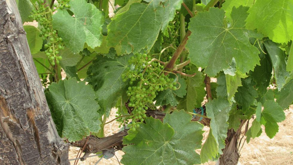 racimo-uva-vinedo