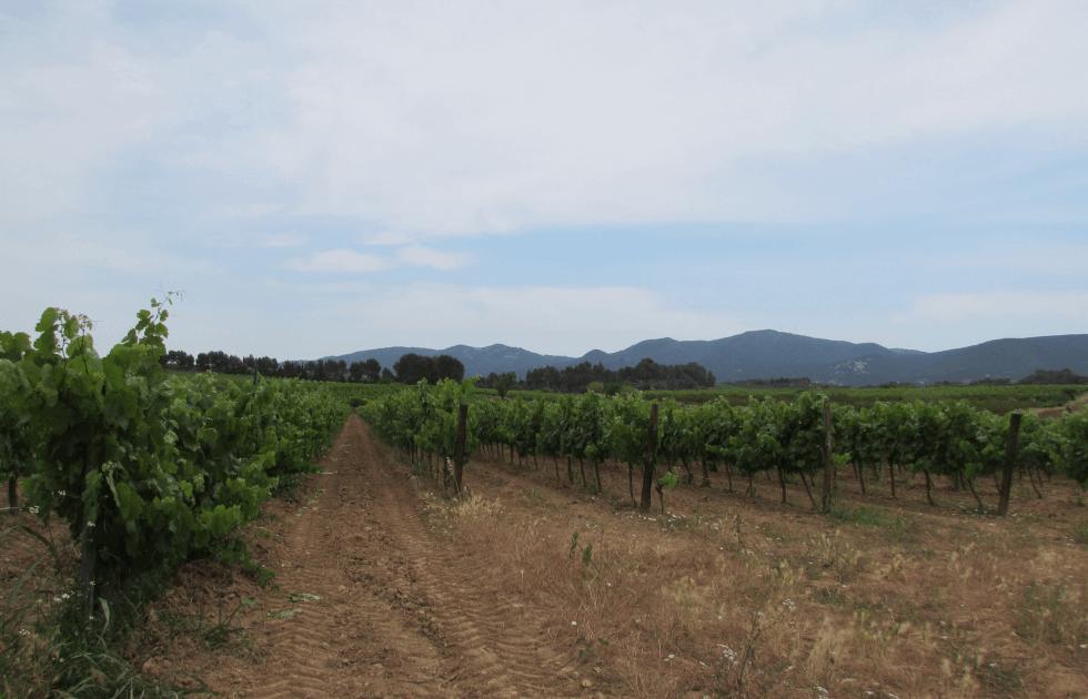 uva-xarelo-vilafranca