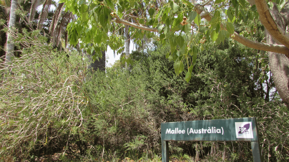 mallee-australia-jardin